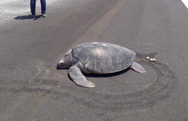 Rùa hiếm trở lại chốn xưa đẻ trứng, nơi đây đã thành một đường băng