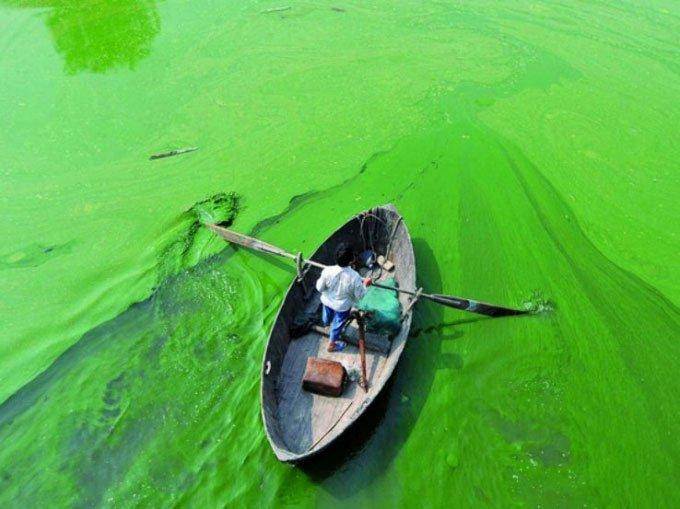 Sáng chế biến tảo lam độc hại thành bột protein