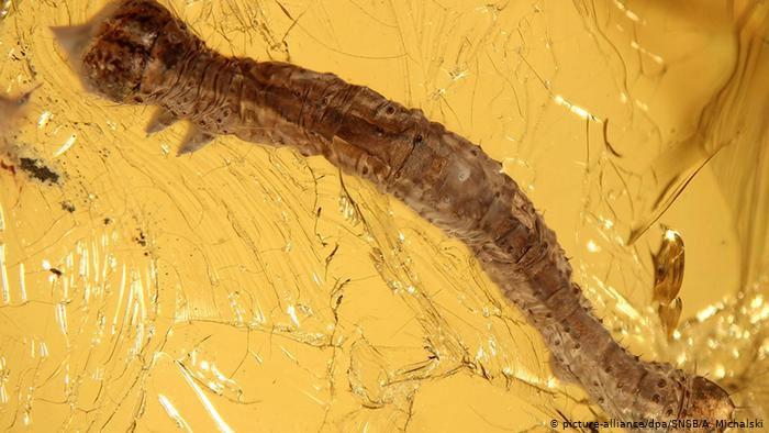 Sâu bướm kẹt cứng trong hổ phách 44 triệu năm