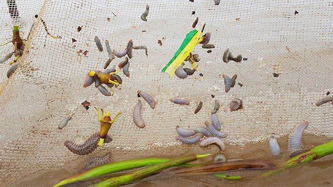 Sâu lạ ăn ngao ở Ninh Bình là giun biển