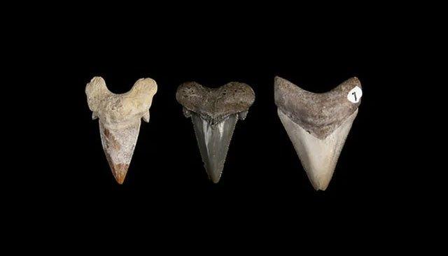 Siêu cá mập Megalodon tiến hóa hàng chục triệu năm để có bộ răng sát thủ