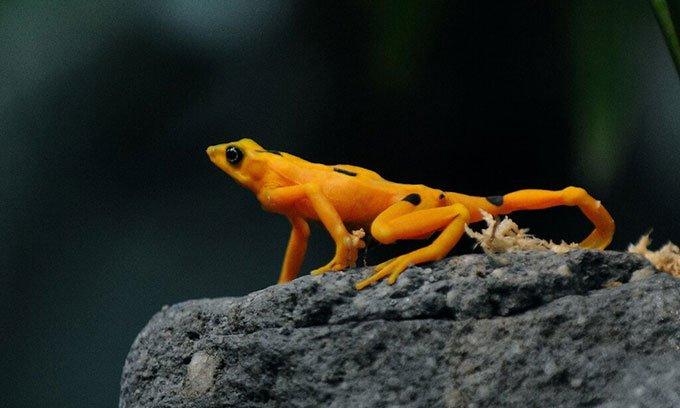 Siêu nấm nguy hiểm đe dọa loài ếch vàng cực kỳ nguy cấp