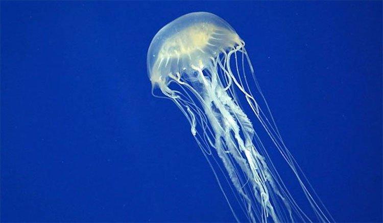Sinh vật biển độc địa nhất thế giới đã không còn đáng sợ