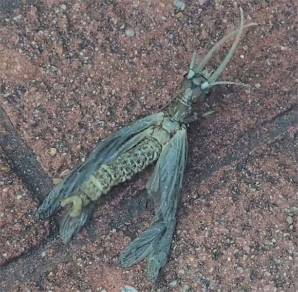 Sinh vật lạ trông giống chuồn chuồn khổng lồ thu hút vạn người xem