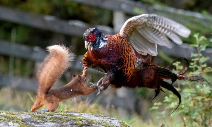 Sóc đỏ gây chiến với gà lôi và cái kết đắng