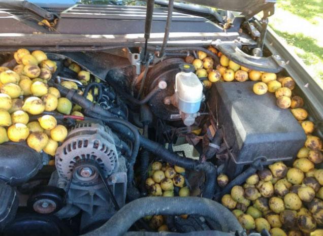 Sóc giấu 158kg quả trong xe, biến ô tô thành kho chứa đồ di động