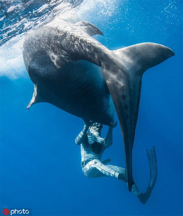 Sốc hình ảnh thợ lặn thôi miên loài cá mập ăn thịt hung dữ nhất thế giới