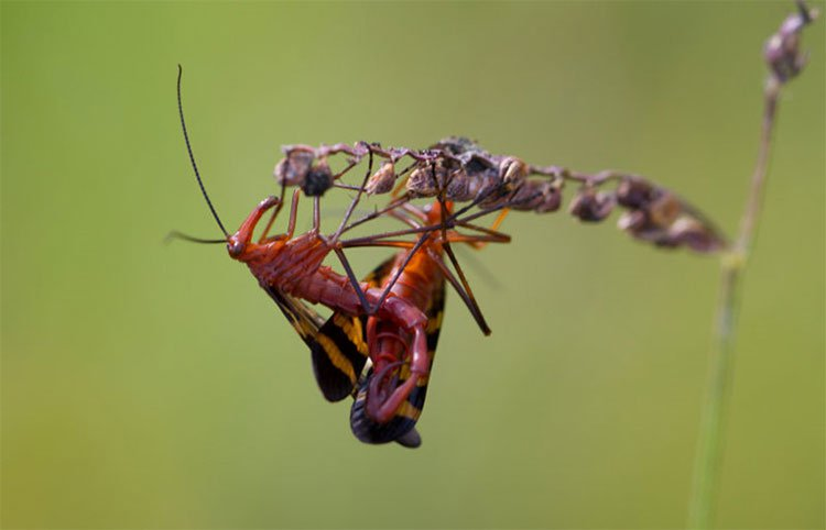 Soi loài ruồi bọ cạp có đời sống tình dục bạo lực
