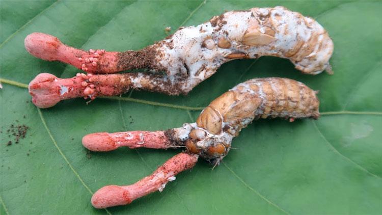 Soi nấm độc, rất giống nấm đông trùng hạ thảo ve sầu ở Việt Nam