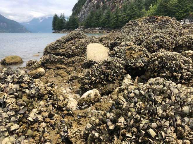 Sóng nhiệt xóa sổ một tỷ sinh vật trên bờ biển Canada