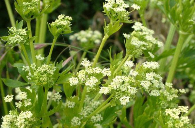 Sự thật ít ai ngờ về cây cần tây: Bổ dưỡng nhưng lại là loài hoa... tang tóc xưa kia