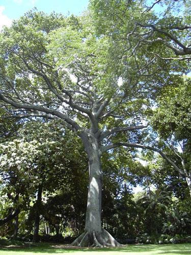 Sự thật khó ai ngờ về cây bông gòn độc đáo ở VN