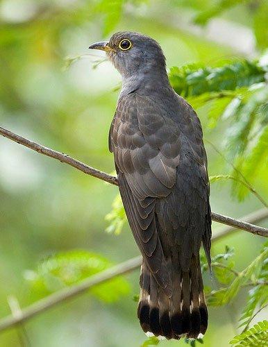 Sự thật loài chim bắt cô trói cột kỳ lạ của Việt Nam