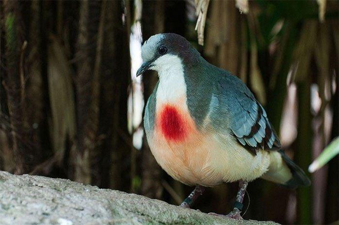 Sự thật về chim bồ câu luôn mang vết thương giữa ngực