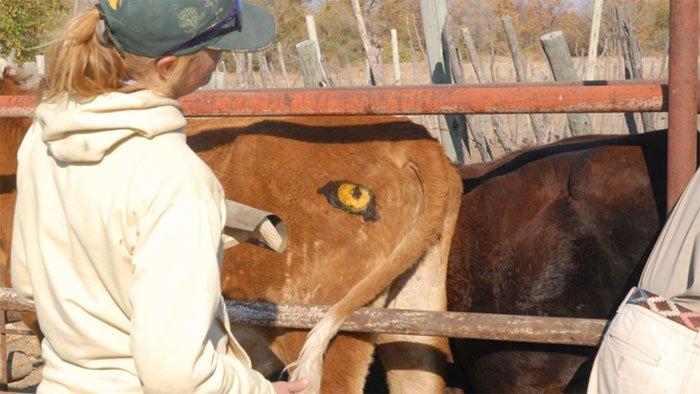 Sự thật về đôi mắt thần giúp bò chiến thắng kẻ săn mồi sư tử hung dữ
