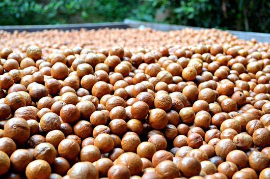 Sự thật về loại hạt nhiều gia đình bày trong khay mứt Tết: Vì sao lại là đắt nhất thế giới?