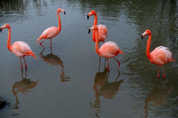 Sự thật về văn hóa kết đôi sống chết có nhau của chim hồng hạc