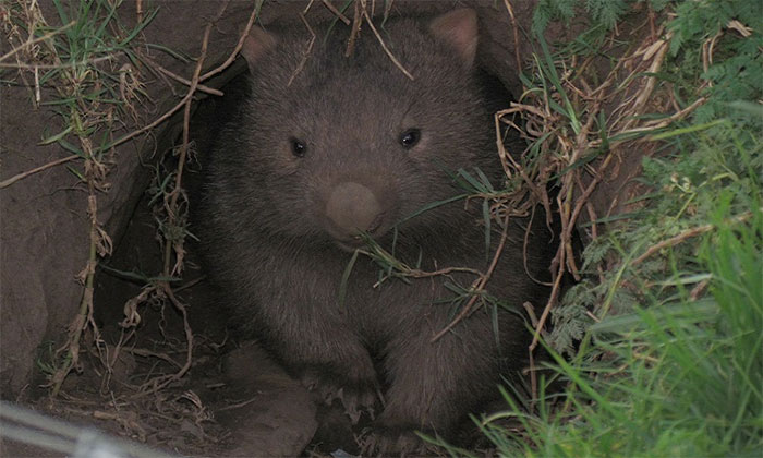 Sự thực gấu túi cứu nhiều động vật khỏi chết cháy