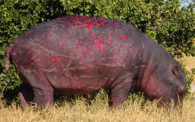 Sự thực về loài hà mã to béo: Ăn cực ít, đi như múa ba lê, chế được kem chống nắng