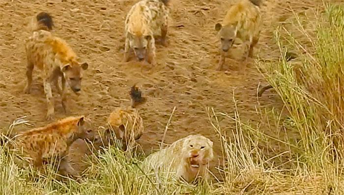 Sư tử bị đàn linh cẩu dồn vào đường cùng, cứu tinh bất ngờ xuất hiện