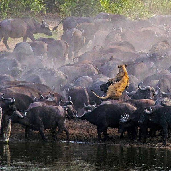 Sư tử rơi vào vòng vây của hơn 100 con trâu rừng và cái kết bi thảm