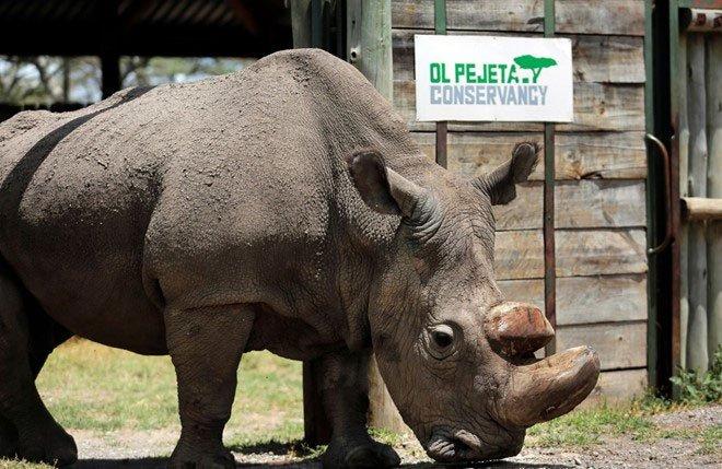 Sừng tê giác không phải là thuốc chữa bách bệnh