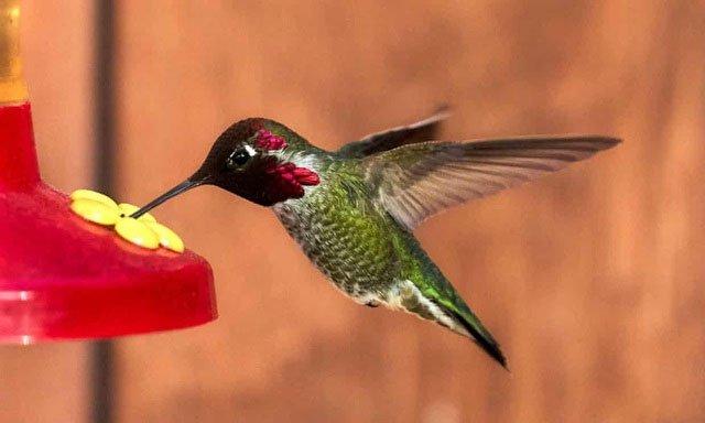 Tại sao chim ruồi phát ra tiếng vo ve?