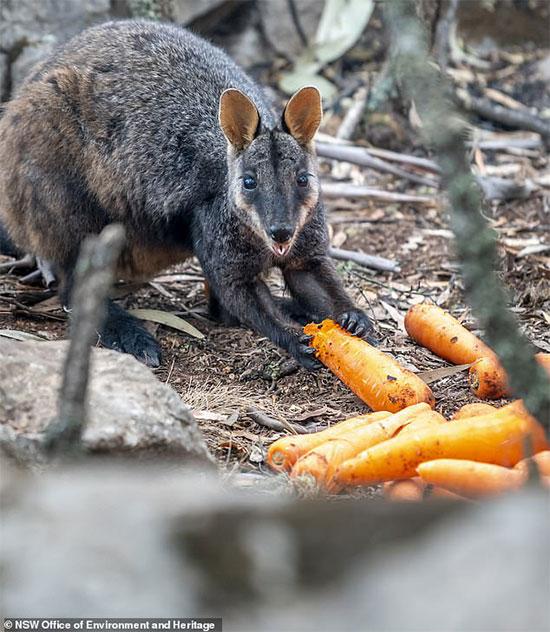 Tại sao chính quyền Australia lại rải rau củ từ máy bay xuống rừng?