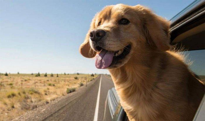 Tại sao chó hay thò đầu ra ngoài cửa kính xe hơi?