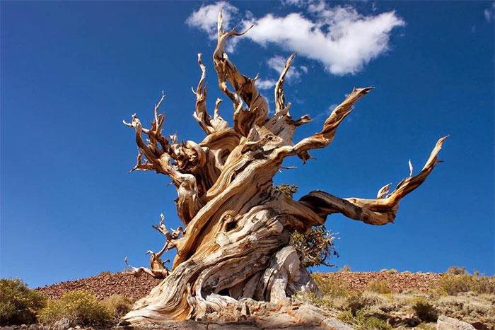 Tại sao có loài cây sống hơn 1.000 năm?