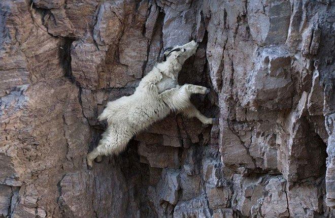 Tại sao dê leo núi giỏi?