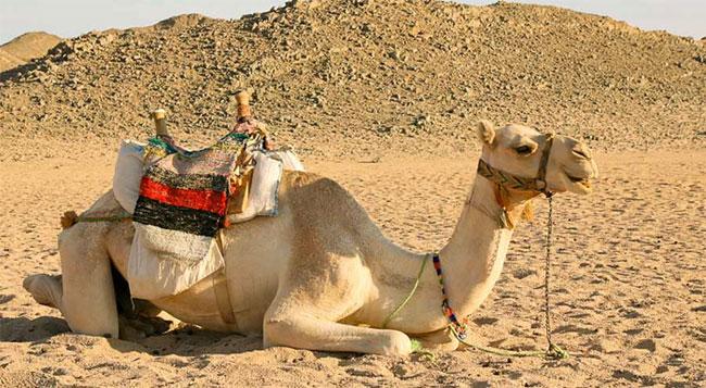 Tại sao động vật có thể tồn tại được trong sa mạc?