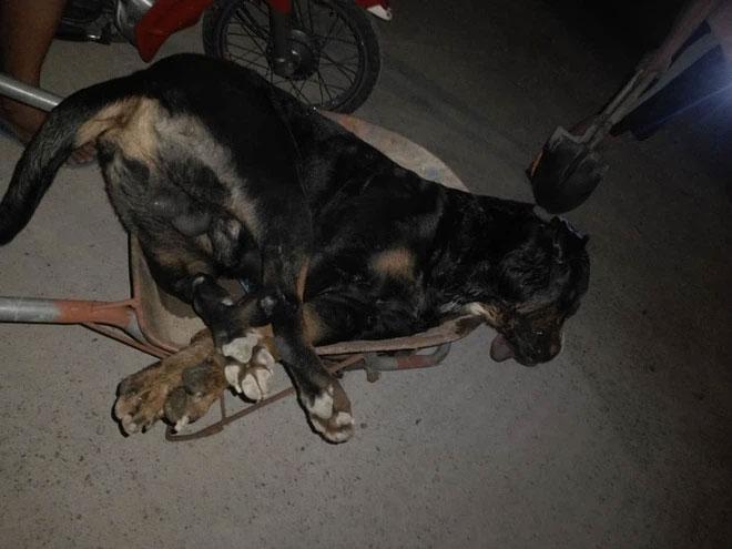 Tại sao khi đối đầu với các loài rắn độc, vua chó chọi Pitbull lại thường thất thế hay bị giết chết?
