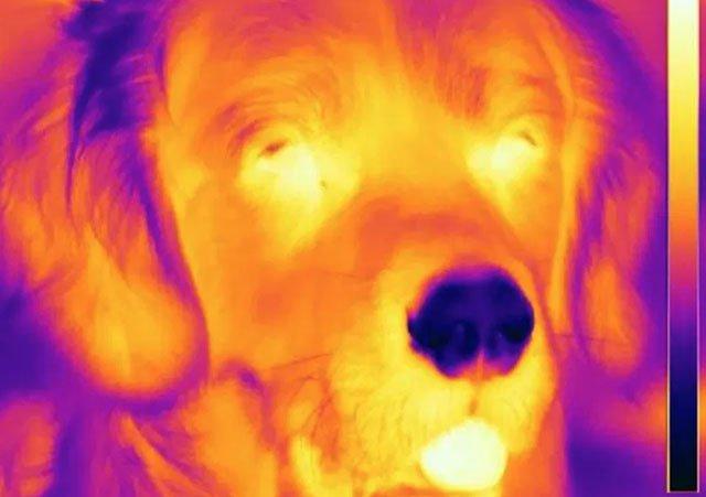 Tại sao loài chó có mũi lạnh hơn nhiệt độ bình thường?