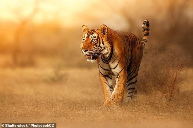 Tại sao lông con hổ có màu đỏ cam cực kỳ nổi bật mà vẫn là hung thần của rừng xanh?