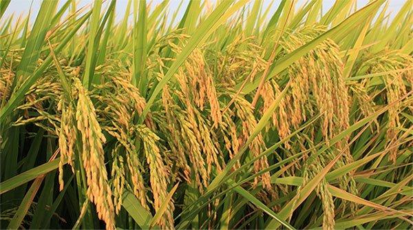 Tại sao lúa lai lại phải gây giống hằng năm?