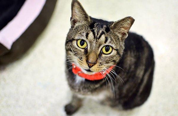 Tại sao nhiều con mèo bị thiếu một đầu tai?