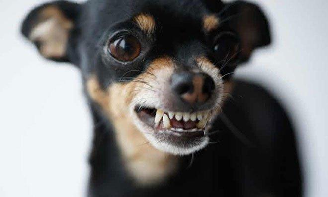 Tại sao những con chó nhỏ lại thường hung dữ hơn?