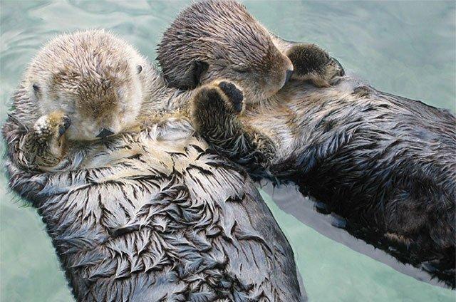 Tại sao rái cá biển nắm tay nhau khi ngủ?