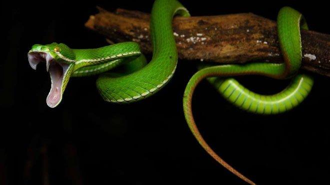 Tại sao rắn có răng nanh trong khi các loài chứa độc khác không có?