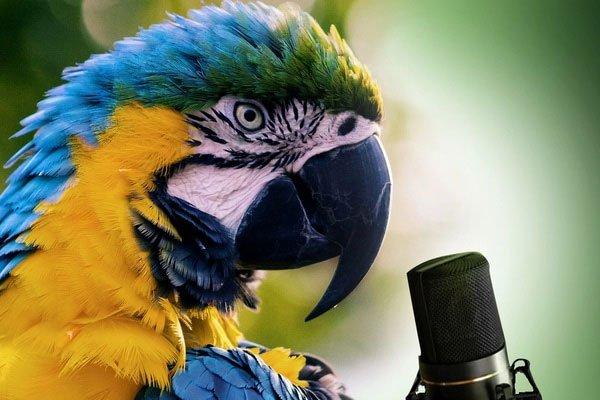 Tại sao vẹt không biết hót nhưng lại thích bắt chước tiếng nói con người?