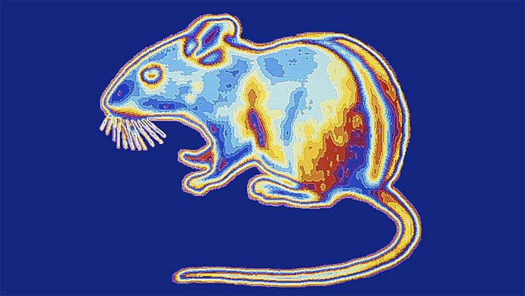 Tạo ra siêu chuột nhìn xuyên màn đêm: Tưởng khoa học rảnh nhưng mọi chuyện đều có lý do