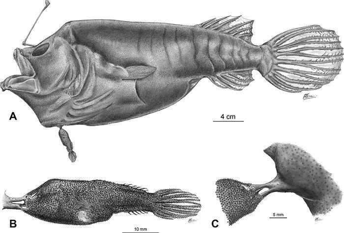 Tập tính giao phối kỳ quái bậc nhất thế giới động vật của cá cần câu Anglerfish