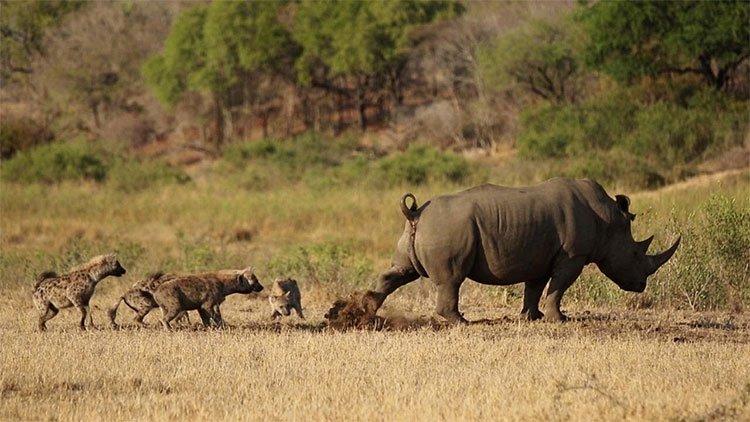Tê giác thả bom phân dọa linh cẩu tránh xa