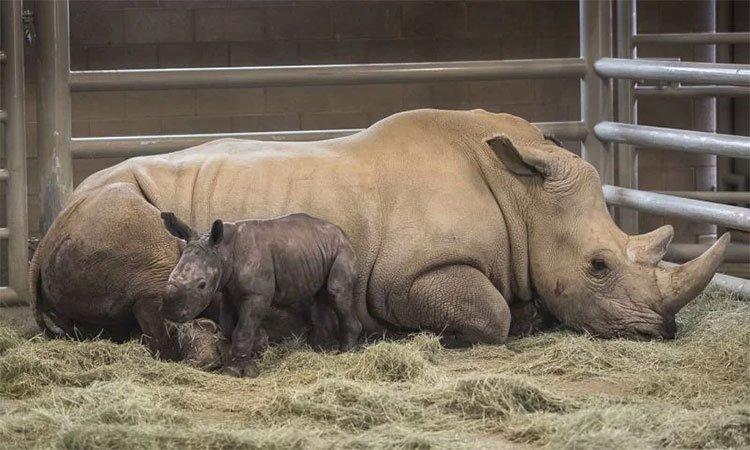 Tê giác trắng phương Nam đầu tiên chào đời nhờ thụ tinh ống nghiệm