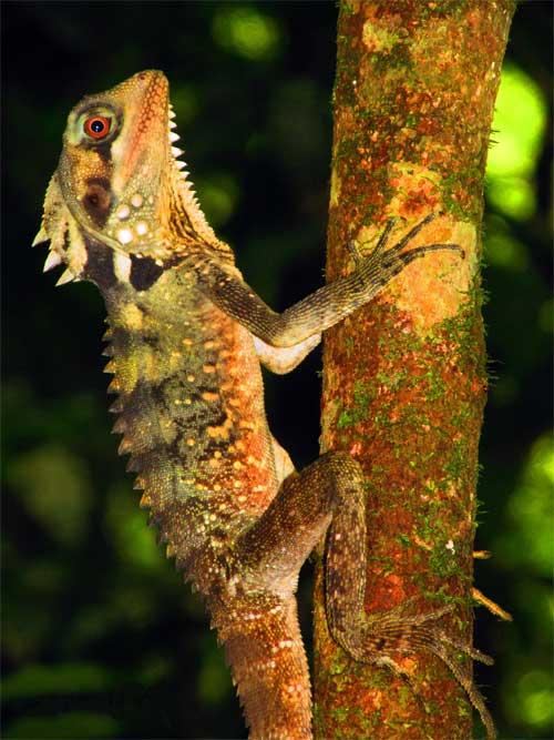 Thằn lằn rồng cái chuyển giới sau khi con đực chết