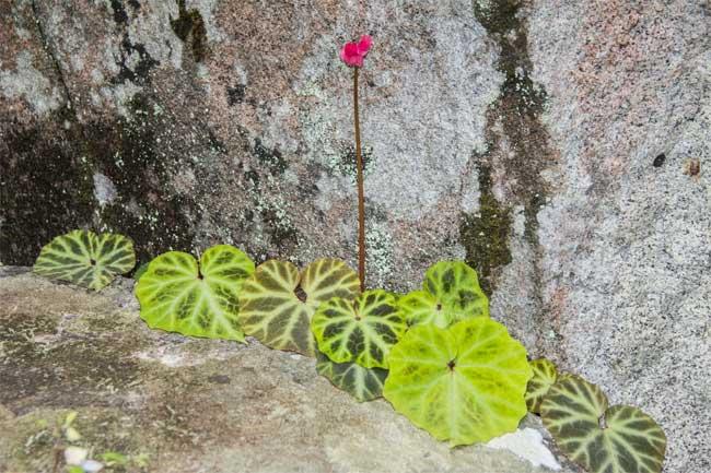 Thêm ba loài thực vật mới có hoa tuyệt đẹp được phát hiện tại Việt Nam