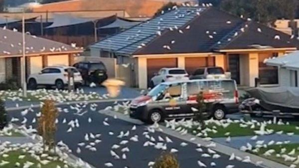 Thị trấn Australia khốn khổ vì bị vẹt trắng chiếm đóng