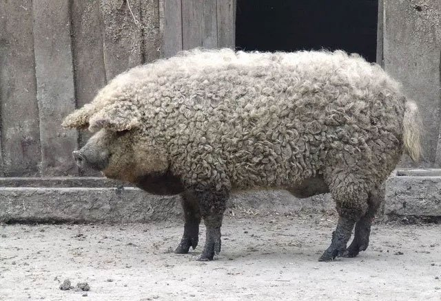 Thịt từ loại lợn có lông xù như lông cừu đắt hàng như tôm tươi nhờ hương vị cực đậm đà và mềm mịn