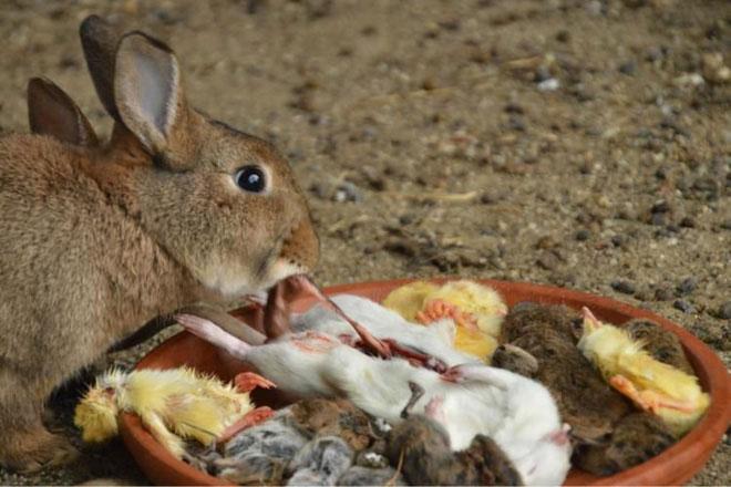 Thỏ ăn thịt đã là khó tin rồi, bạn có biết thỏ còn ăn lại phân của chính mình?